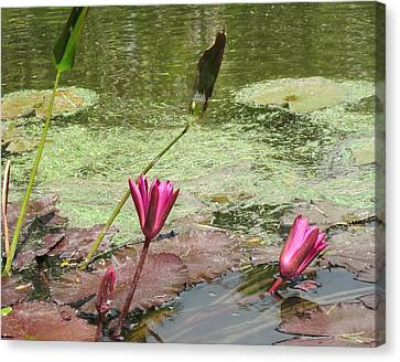 Pink Lilly Pond Canvas Print by Rosie Brown