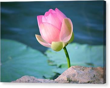 Pink Lotus 2 Canvas Print by Julie Palencia