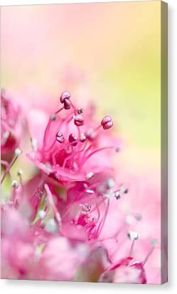 Pink Magic Canvas Print by Sharon Johnstone