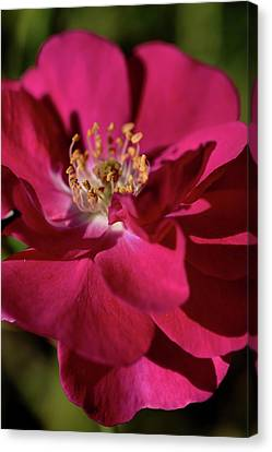 Canvas Print featuring the photograph Pink Of Rose by Joy Watson