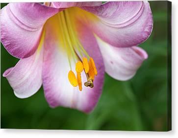 Perennial Canvas Print - Pink Perfection (lilium Regale) by Anna Yu