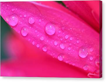 Pink Petal Waterdrops Canvas Print