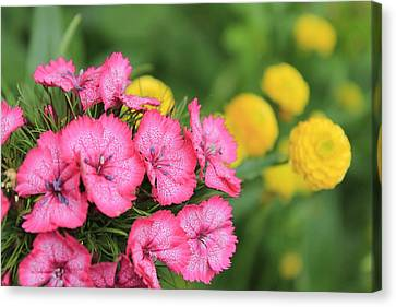 Pink Phlox And Yellow Buttons Canvas Print by Scott Hovind