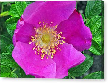 Canvas Print featuring the photograph Pink Portulaca by Tikvah's Hope
