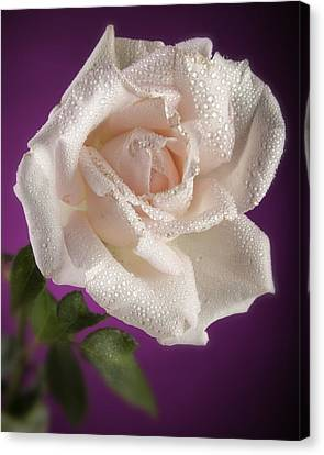 Pink Rose And Rain Drops Canvas Print by M K  Miller