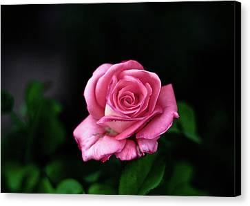 Pink Rose Canvas Print by Annfrau