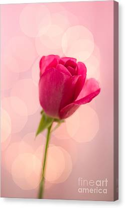 Pink Rose Bud Bokeh Canvas Print by Ethiriel  Photography