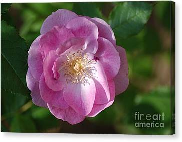 Pink Rose Close Up Canvas Print by Mark McReynolds