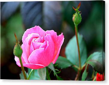 Canvas Print featuring the photograph Pink Rose by Janice Adomeit