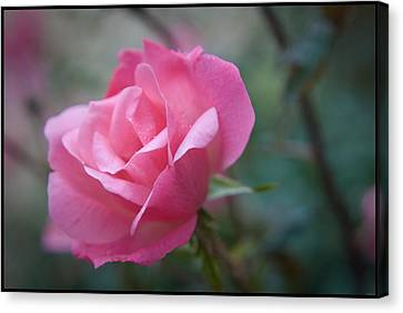 Pink Rose Canvas Print by Kelly Rader