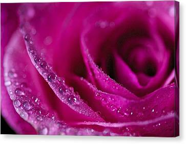 Pink Rose Canvas Print by Scott Holmes