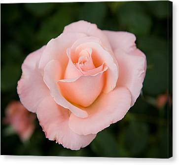 Canvas Print - Pink Rose With Dew Drop by Sheri Van Wert