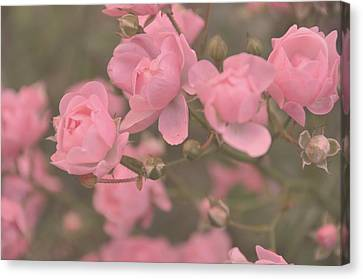 Pink Roses Canvas Print by Paula Sharlea