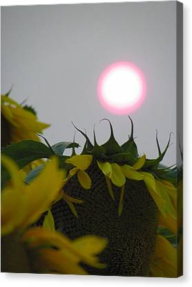 Pink Sun Setting Over Sunflower Field Canvas Print