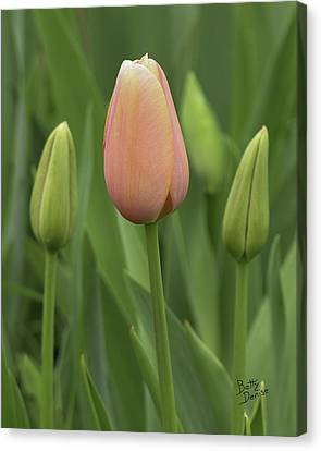 Canvas Print featuring the photograph Pink Tulip With Buds by Betty Denise