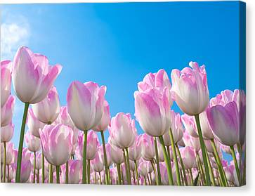 Canvas Print featuring the photograph Pink Tulips by Hans Engbers