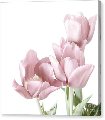 Pink Tulips Canvas Print by HD Connelly