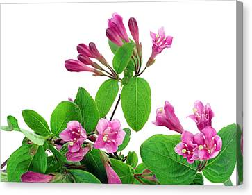 Canvas Print featuring the photograph Pink Weigela Background by Aleksandr Volkov