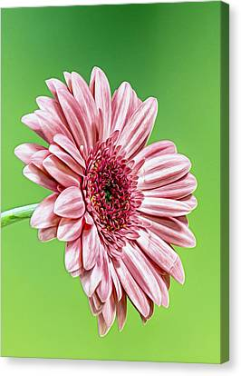 Pinky On Lime Canvas Print by Bill Tiepelman