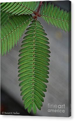 Pinnate Canvas Print by Susan Herber