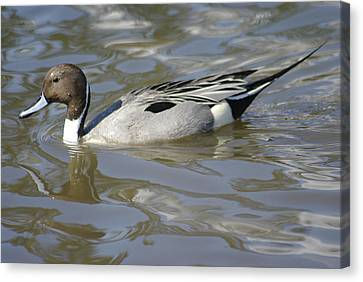 Pintail Duck Canvas Print by Marilyn Wilson
