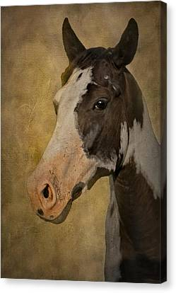 Pinto In The Mist Canvas Print by Susan Candelario