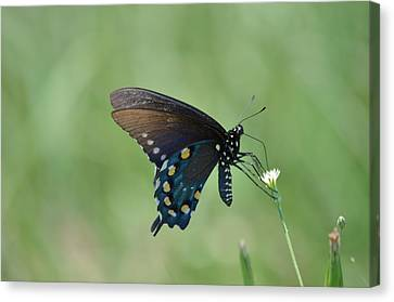 Pipevine Swallowtail Nectaring Canvas Print by Kathy Gibbons