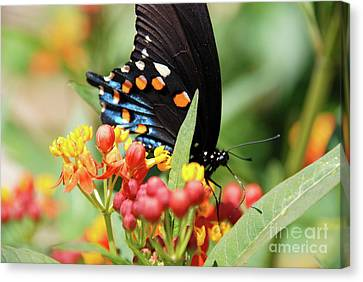 Pipevine Swallowtail Too Canvas Print by Ken Williams