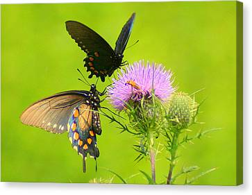 Canvas Print featuring the photograph Pipevine Swallowtails In Tandem by Laurel Talabere