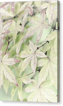 Pistachio Maple Canvas Print by David Lade