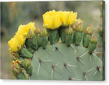 Plains Prickly Pear Blossoms Canvas Print