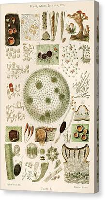 Plant And Fungi Microscopy, 19th Century Canvas Print by