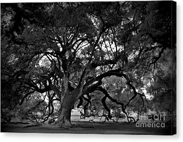 Plantation Oak Tree Canvas Print by Perry Webster