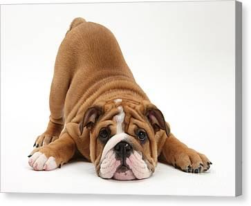 House Pet Canvas Print - Playful Bulldog Pup by Mark Taylor
