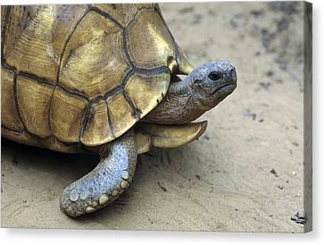 Ploughshare Tortoise Canvas Print by Chris Hellier