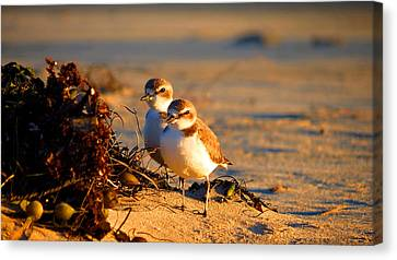 Plover Boys Canvas Print by Catherine Natalia  Roche