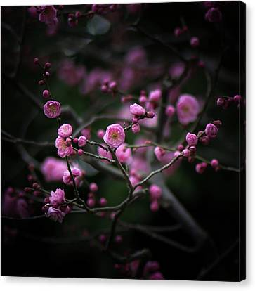 Plum Blossoms Canvas Print by I love Photo and Apple.