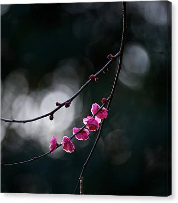 Plum Blossoms Canvas Print by Moriyu