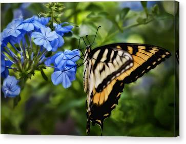 Plumbago And Swallowtail Canvas Print by Steven Sparks