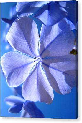 Plumbago Flowers Canvas Print by Catherine Natalia  Roche
