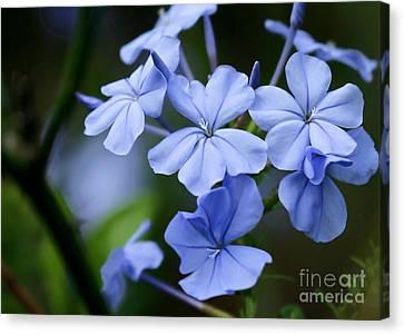Florida Flowers Canvas Print - Plumbago by Sabrina L Ryan