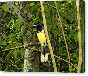 Canvas Print featuring the photograph Plush-crested Jay by David Gleeson