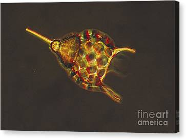 Podocyrtis Triacantha Lm Canvas Print by Eric V Grave