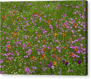 Phlox Canvas Print - Pointed Phlox And Indian Paintbrushes by Tim Fitzharris