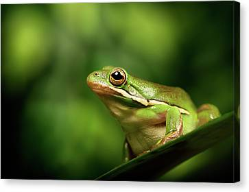 Frog Canvas Print - Poised by MarkBridger