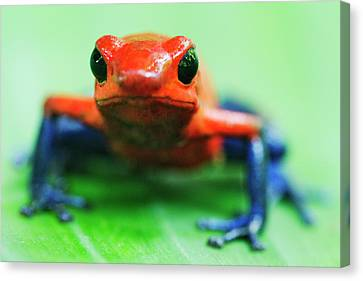 Poison Dart Frog Canvas Print by Jeremy Woodhouse