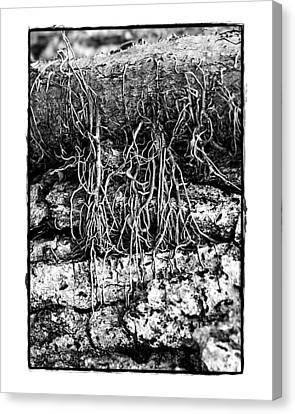 Poison Ivy Roots Canvas Print by Judi Bagwell