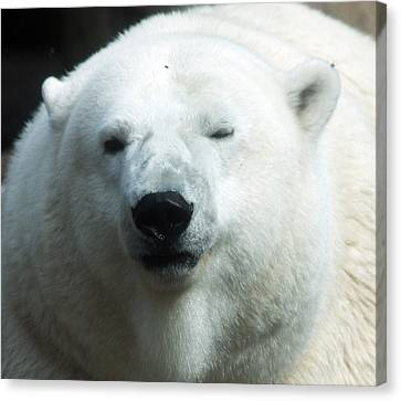 Canvas Print featuring the photograph Polar Bear - 0001 by S and S Photo
