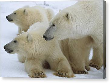 Polar Bear And Two Large Cubs Sniffing Canvas Print by Norbert Rosing