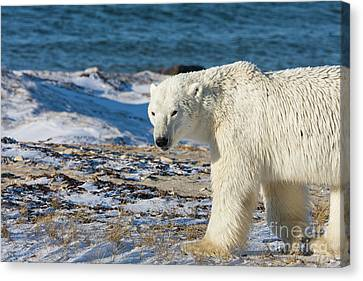Polar Bear Canvas Print by Buchachon Petthanya
